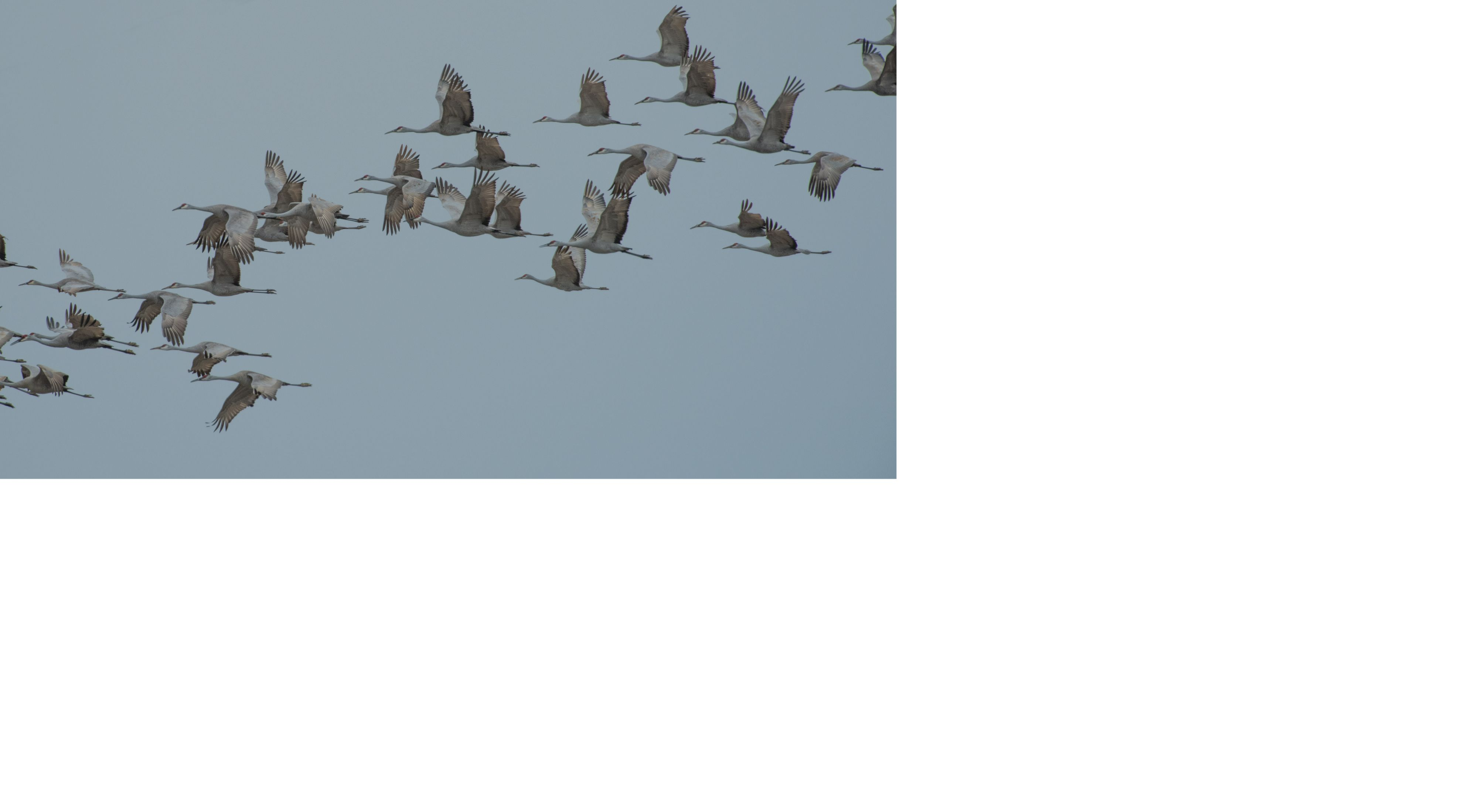 flock of sandhill cranes in flight in a blue sky