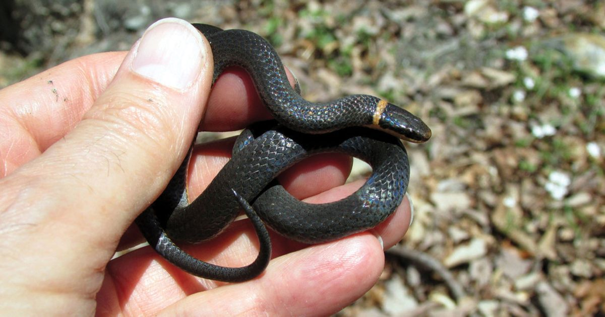 A northern ringneck snake was identified in Montgomery County, MD during the 2018 City Nature Challenge.