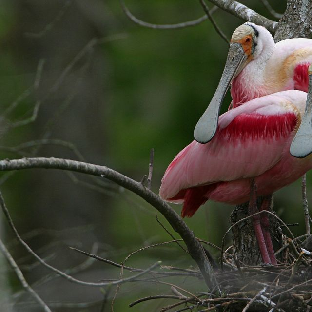 Roseate spoonbills perched on a tree.