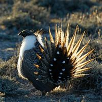 The sagebrush sea provides habitat for wildlife like Greater sage-grouse.