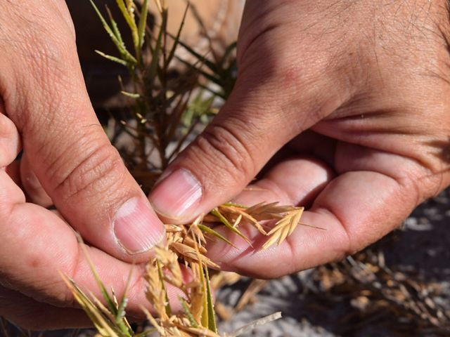 The return of salt grass to the estuary is an important and exciting development in the restoration of the Colorado River Delta.