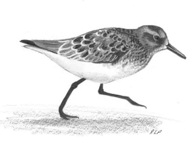 Charcoal drawing of a sanderling