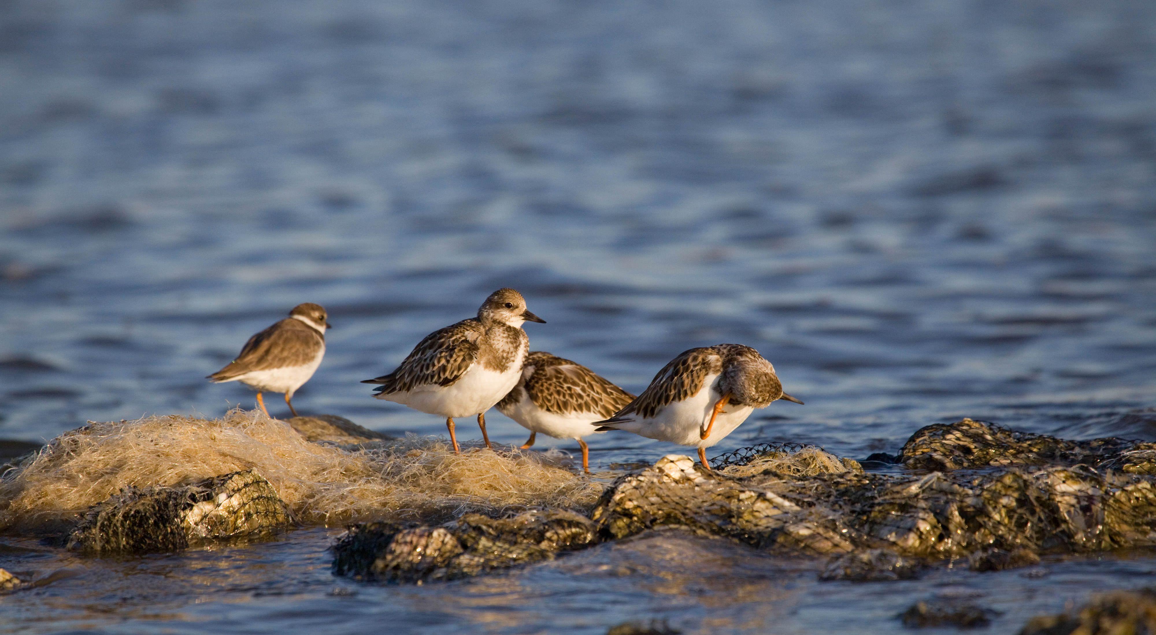 Sanderlings (Calidris alba) use oyster reefs for foraging at Alabama Port.