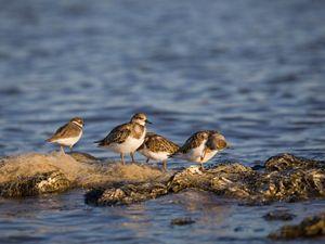 sanderlings on restored oyster reefs