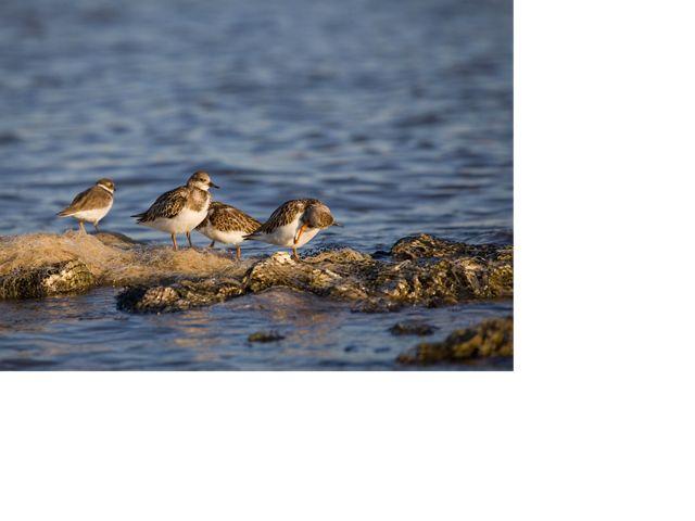 Four sanderlings sitting and preening by blue waters