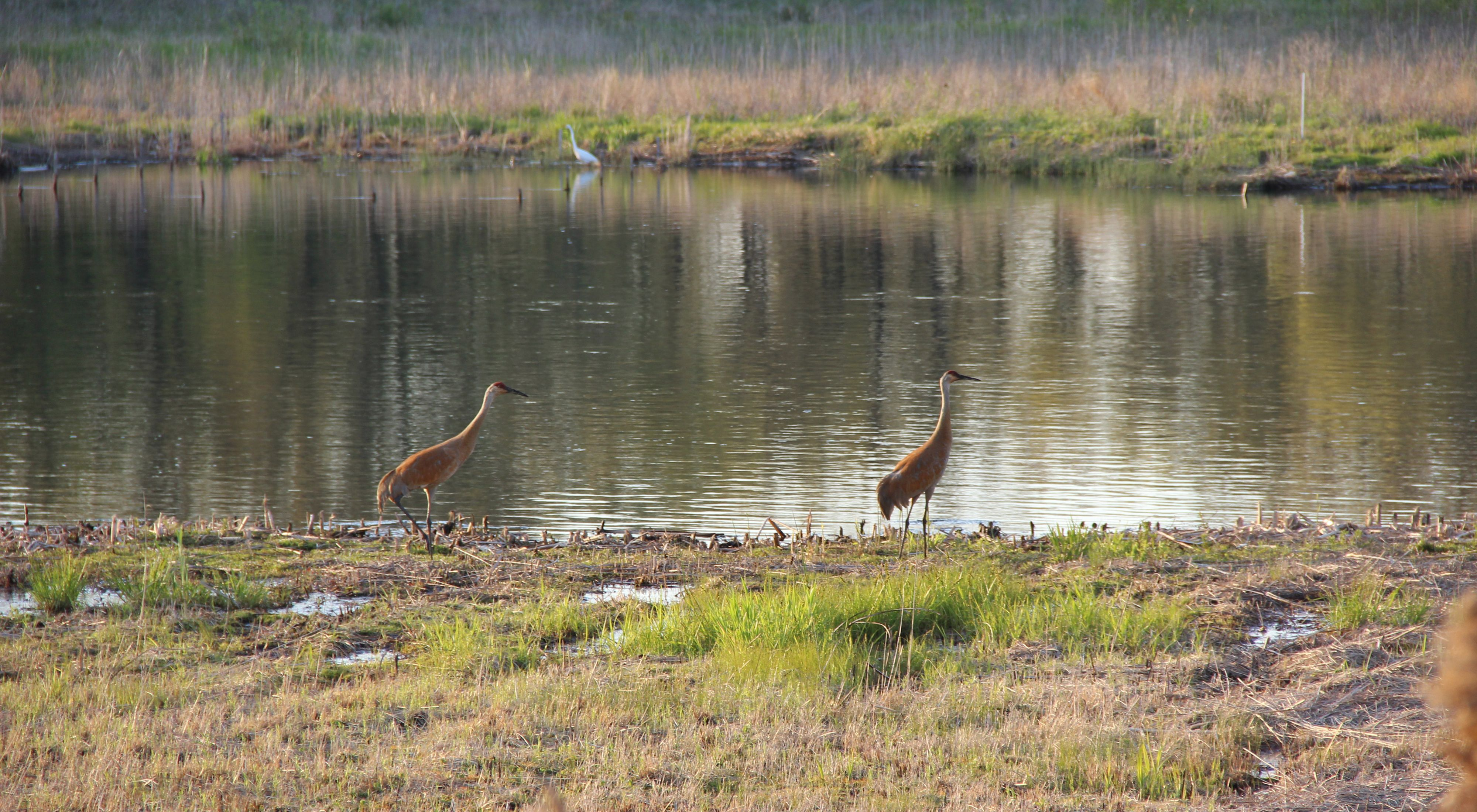 Tall wading birds along the banks of a river with low vegetation.