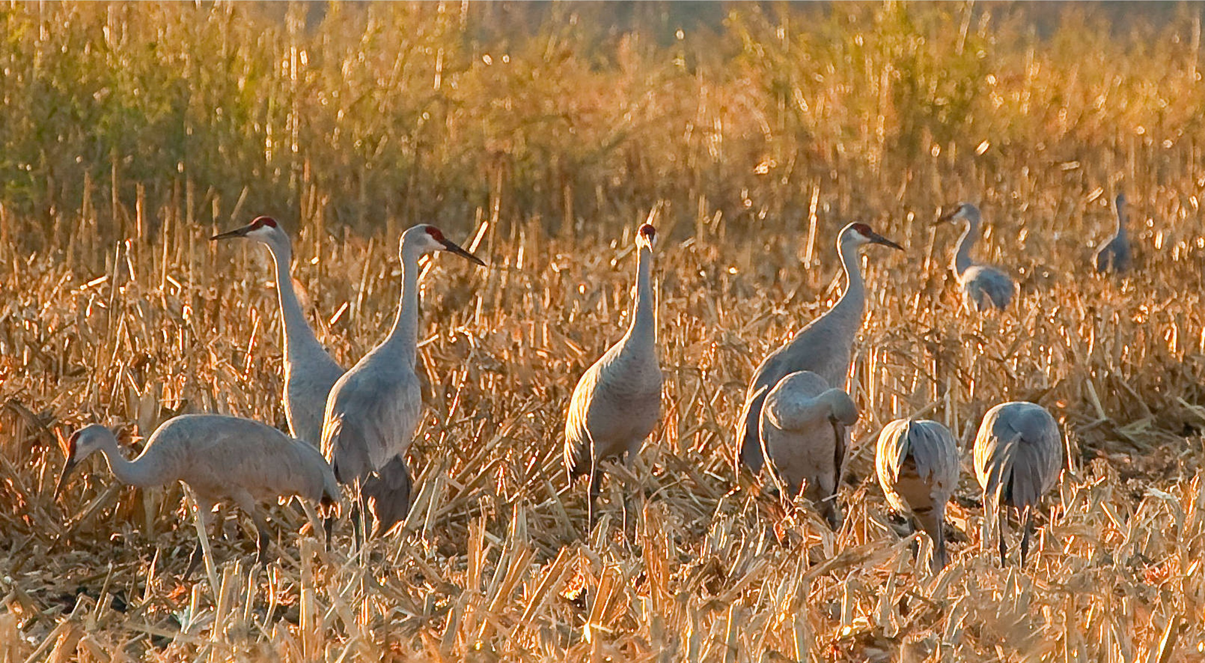 A group of sandhill cranes gather in the Sacramento-San Joaquin Delta