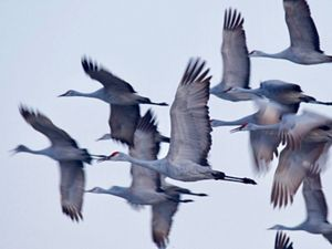 Flock of sandhill cranes in flight