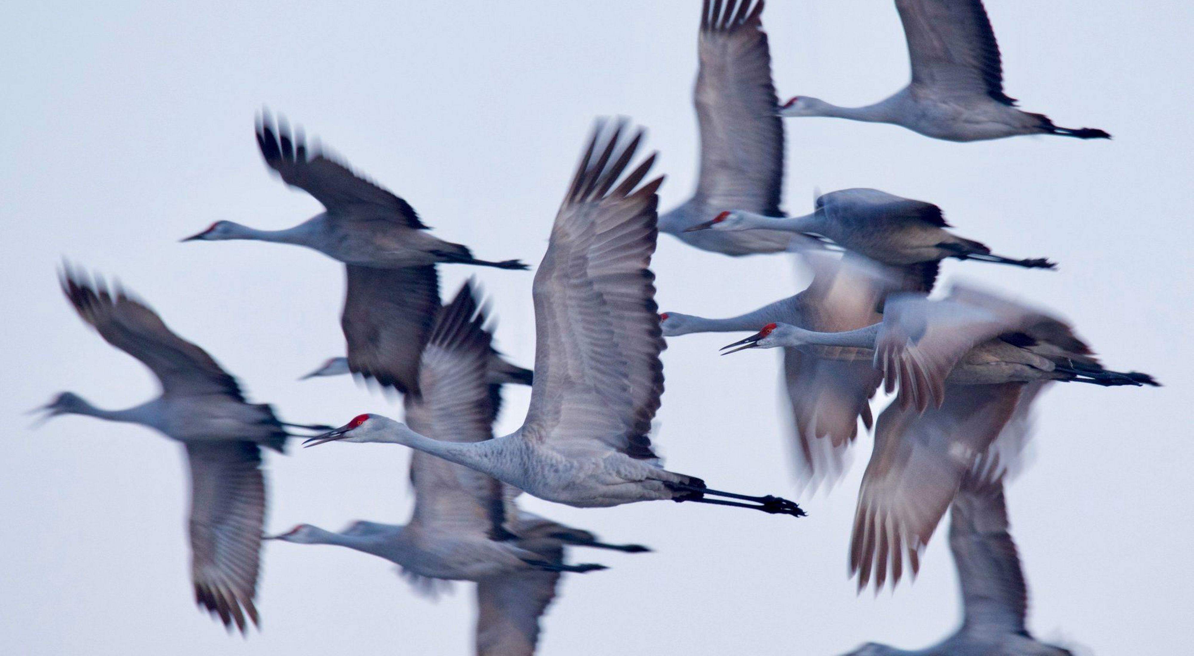 Nebraska's Grand Island during the sandhill crane migration. Honorable Mention in the 2019 Staff Photo Contest.