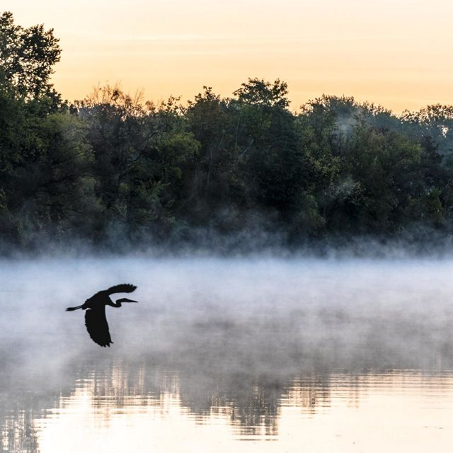 A sandhill crane is pictured flying over a river with reflections of nearby trees in view. The sky in background is light orange, likely from a sunset.