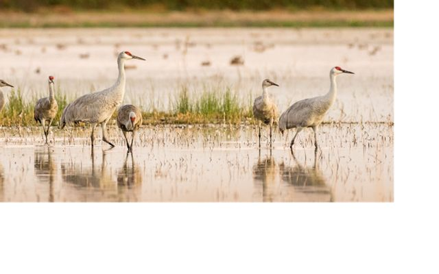 Lesser and Greater Sandhill Cranes mingling at Woodbridge Ecological Reserve, Lodi, California.