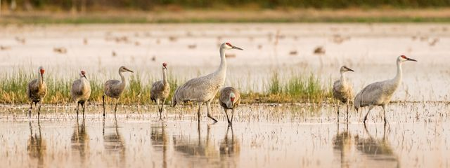 Lesser and Greater Sandhill Cranes mingling at Woodbridge Ecological Reserve, Lodi, California