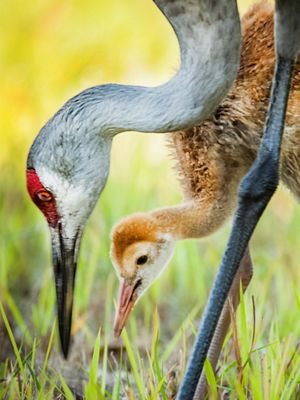 An adult sandhill crane and its colt search for food.