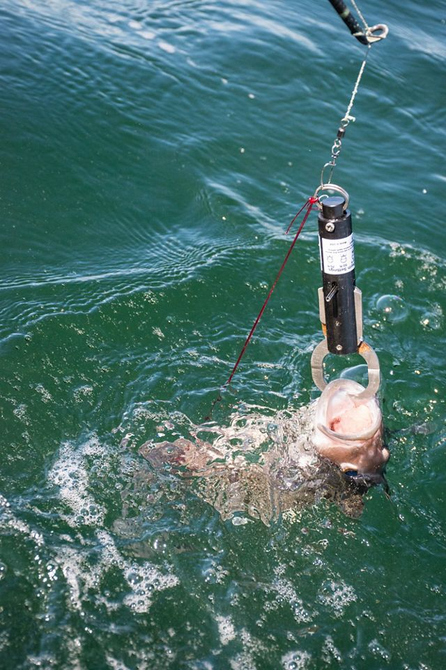 Fish being lowered into the water with a fish descending device.
