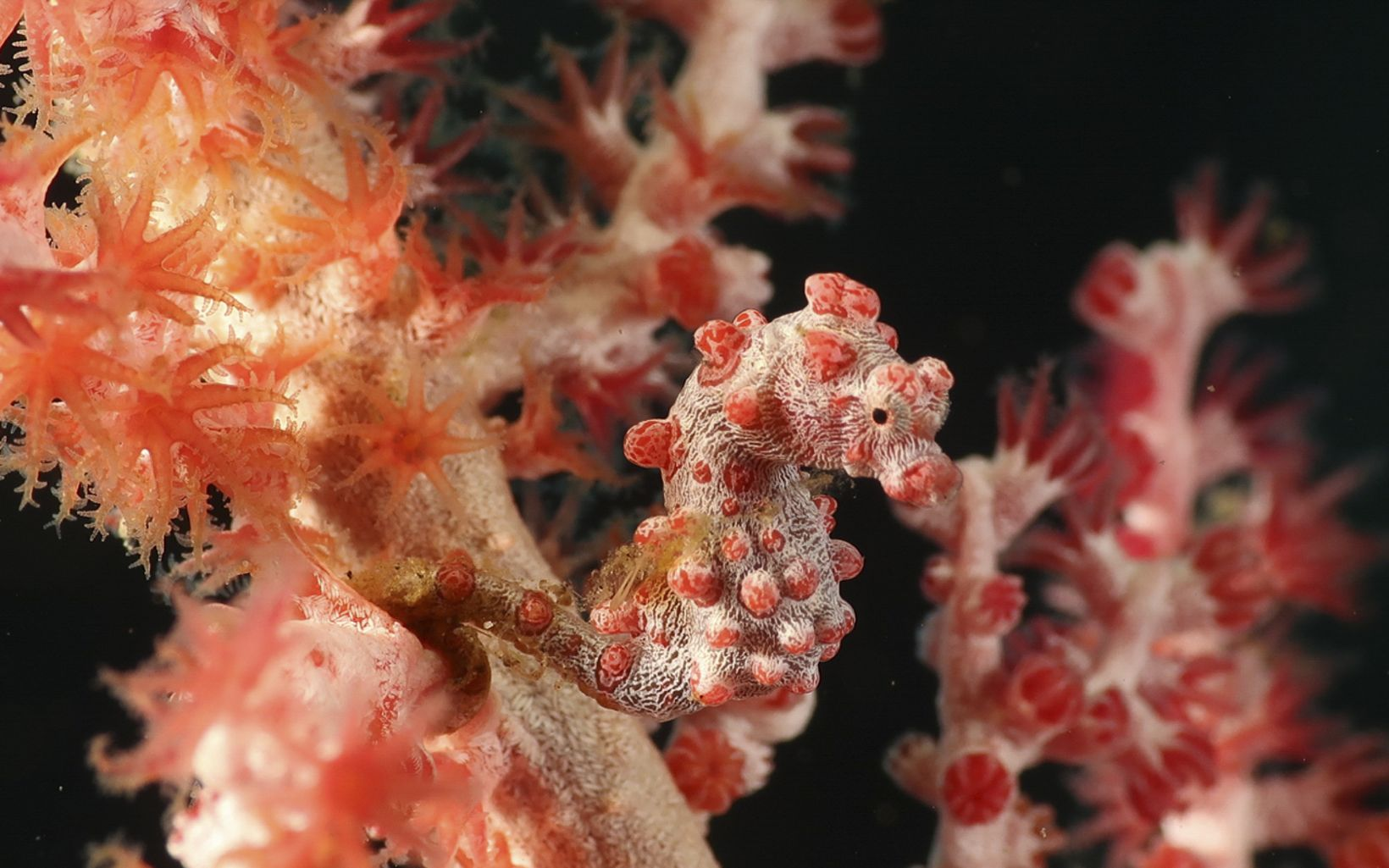 A tiny coral and white pygmy seahorse, photographed on sea fan.