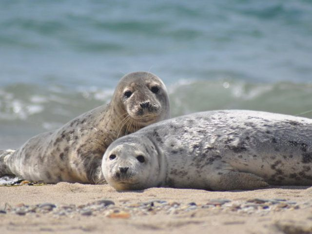 A pair of seals on the beach at the Nantucket National Wildlife Refuge.