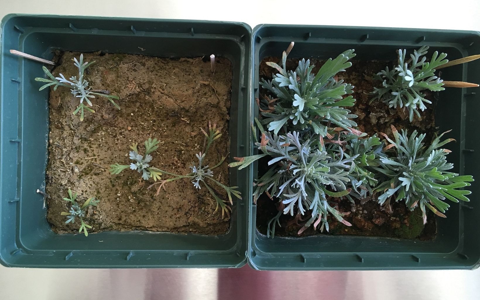 "A control plant (on left) and seedling planting in one of the seed pod ""doughs."""