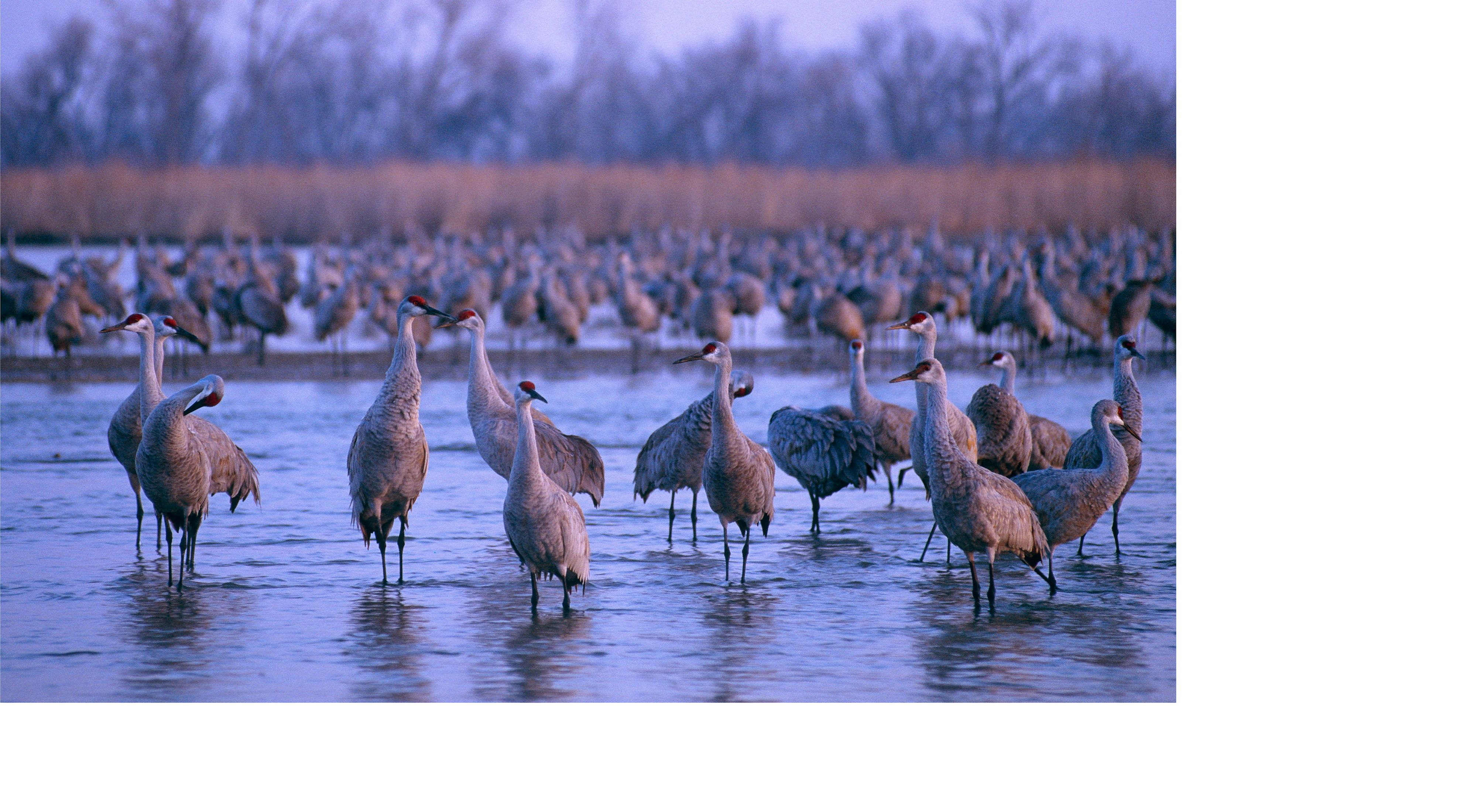Sandhill cranes at roost on the Platte River