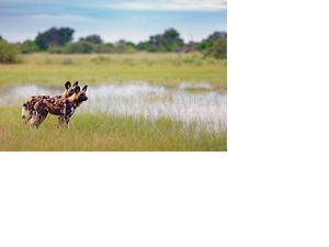 wild dogs in swamp
