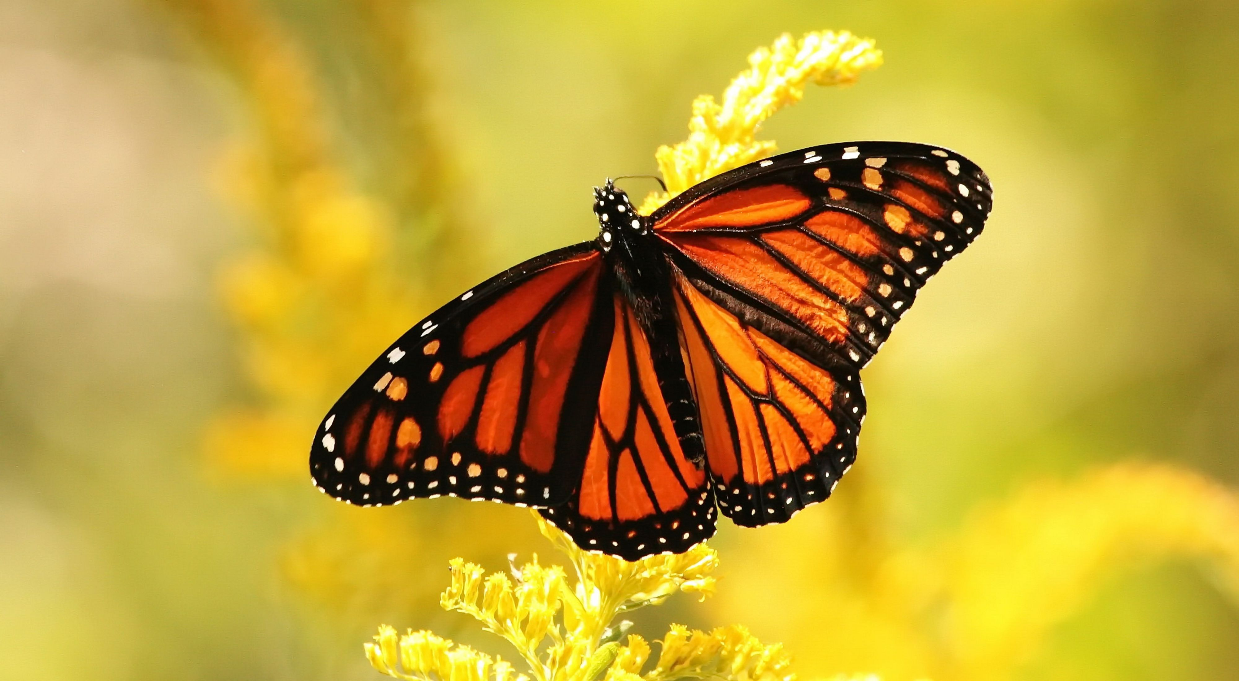 Goldenrod provides migrating monarchs with a vital food source.