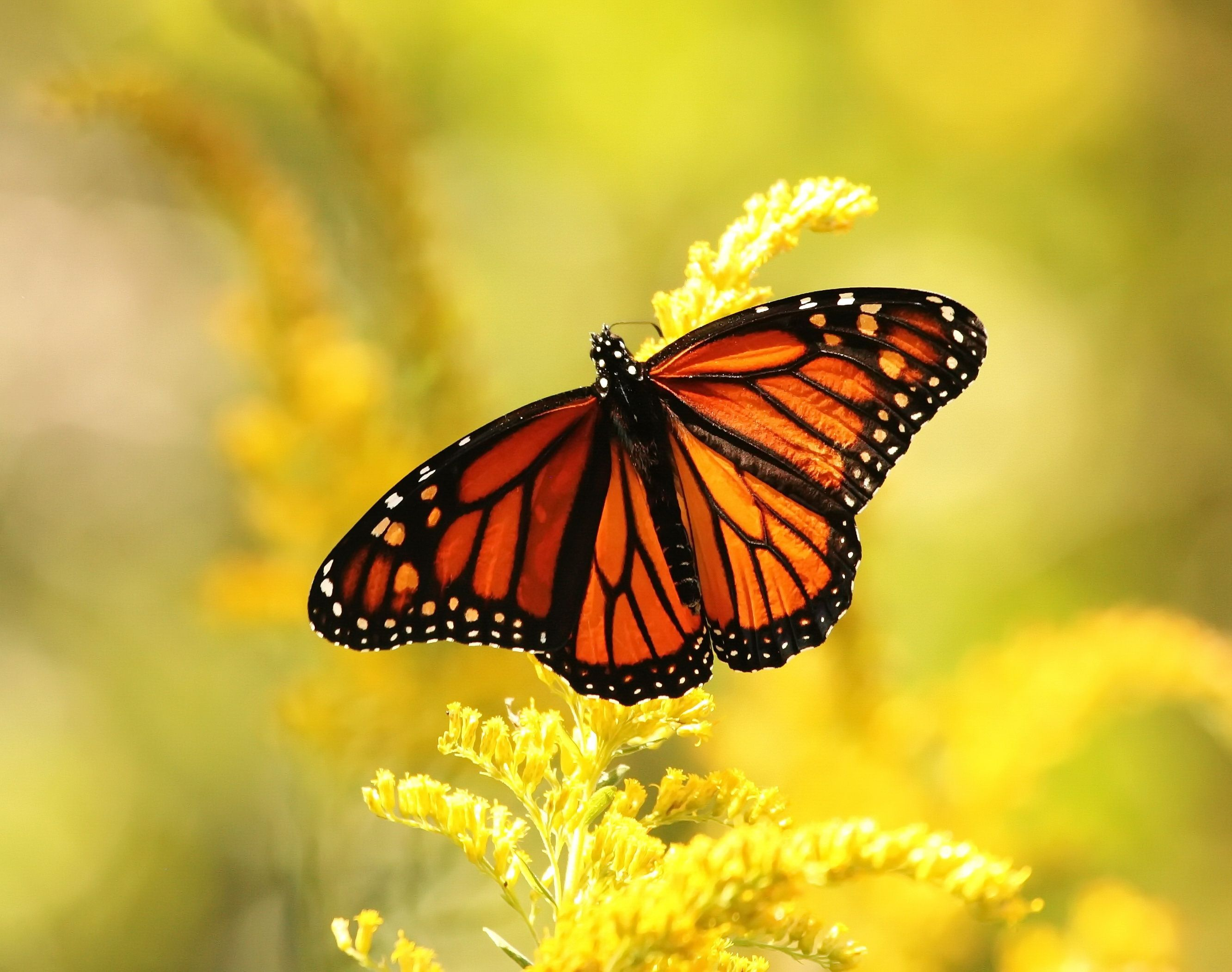 A monarch butterfly pollinating goldenrod.
