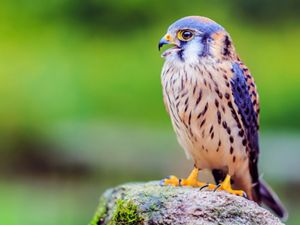 The American kestrel is the smallest and most common falcon in North America.