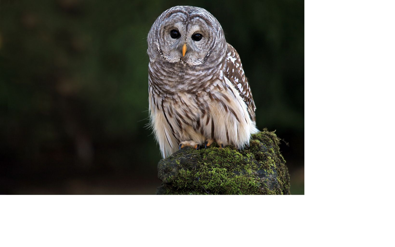 barred owl on a mossy stump