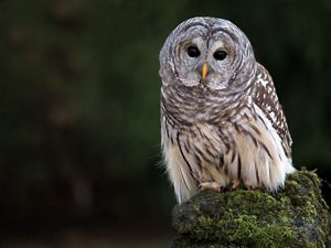 A barred owl against a green backdrop.