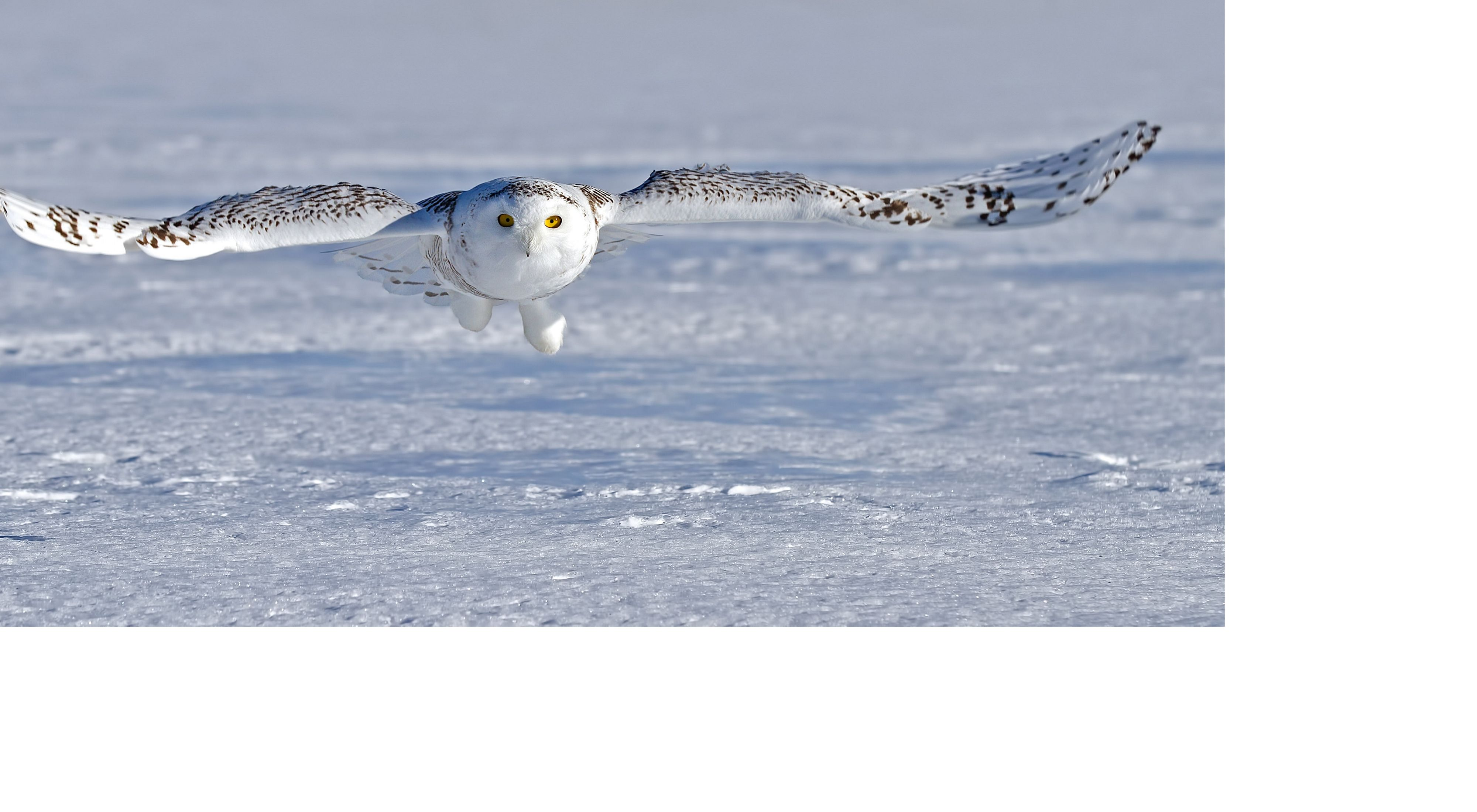 A white snowy owl with some brown stripes on the feathers flying low over a snow-covered landscape.