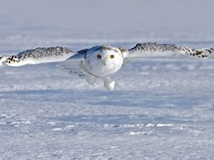 A white owl with black-flecked feathers, and outstretched wings, flies in for a landing on a snow covered ground.