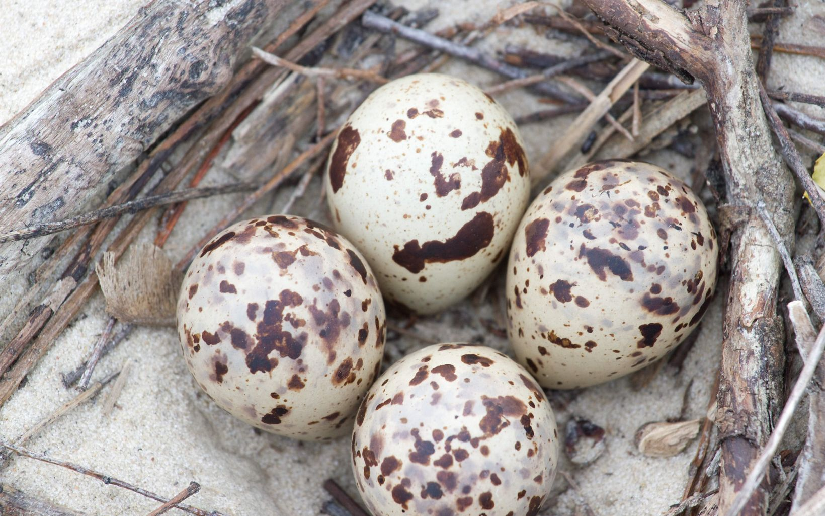 Beach-nesting birds like piping plovers and least terns build nests, called scrapes, in depressions in the sand.