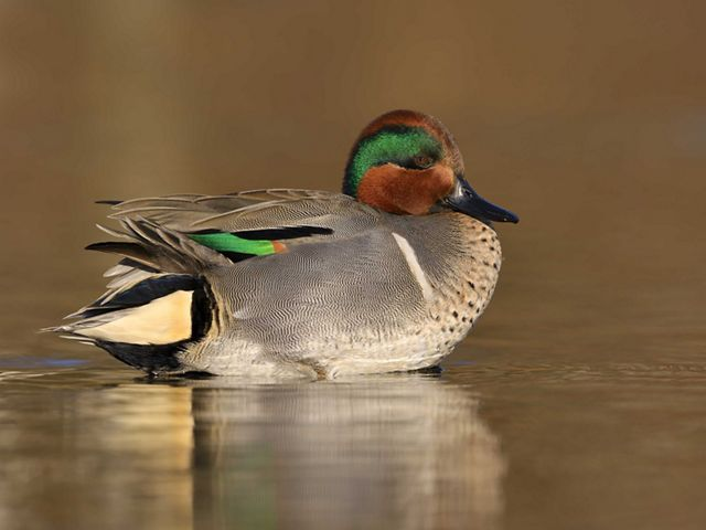 An adult green winged teal is sitting in a pond.