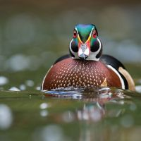 Wood ducks migrate through Cape May each fall.