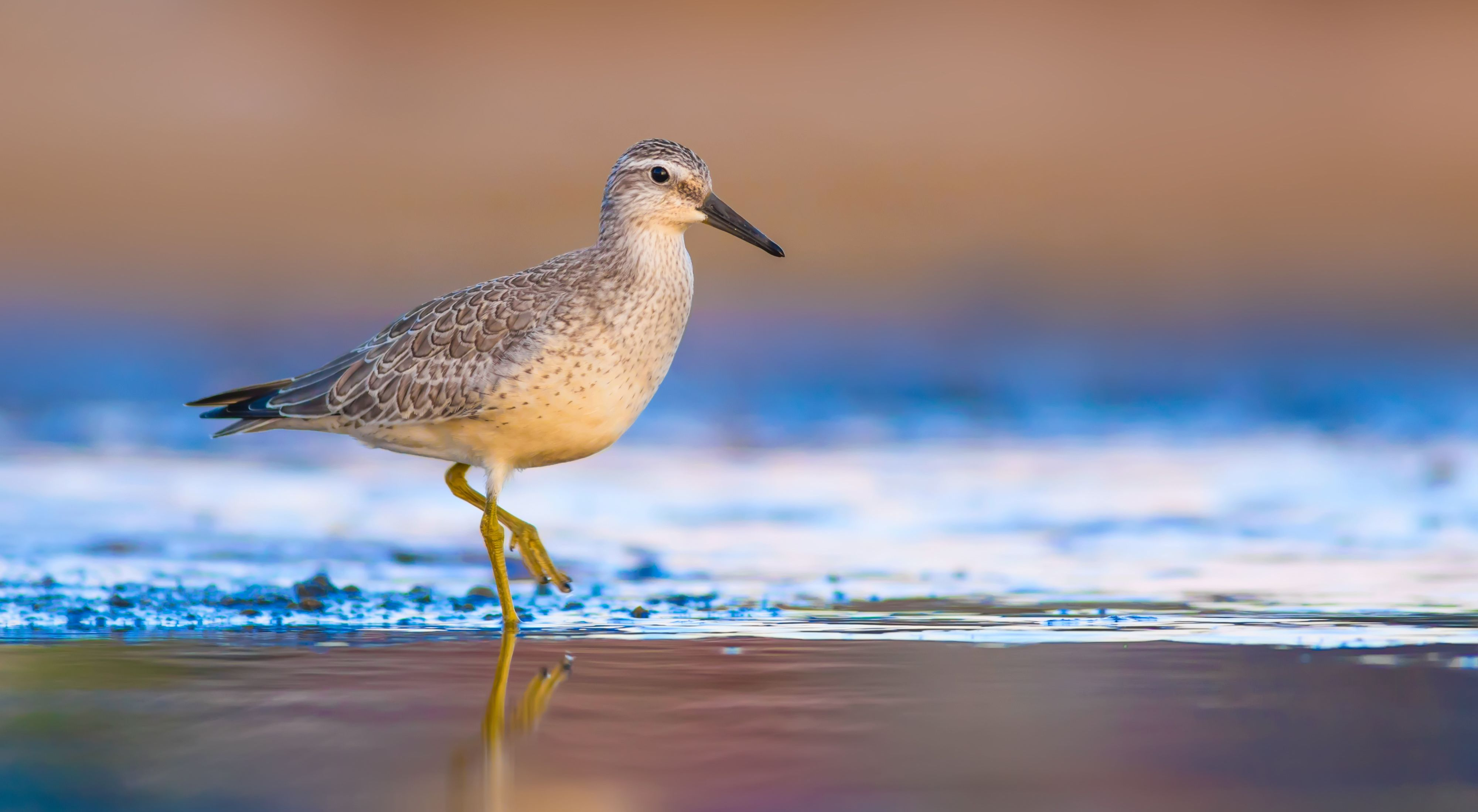 side view of a grey shorebird with a black beak on the beach