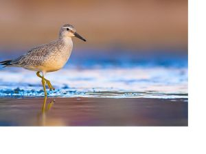 Red knot on beach