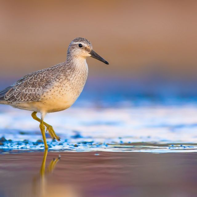 A small white and buff shorebird walks along a beach at the edge of the surf.