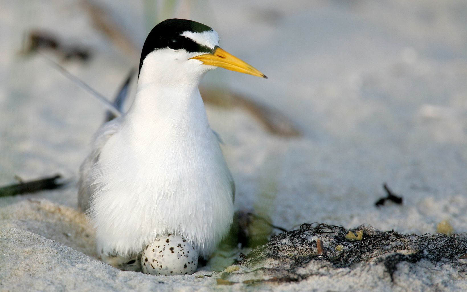 The smallest of American terns, the Least Tern is found nesting on sandy beaches along the southern coasts of the United States.