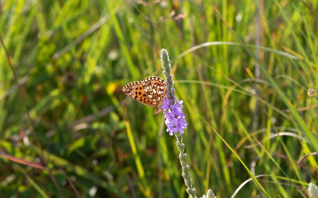 Small orange and black butterfly on spiky purple plant on the prairie.