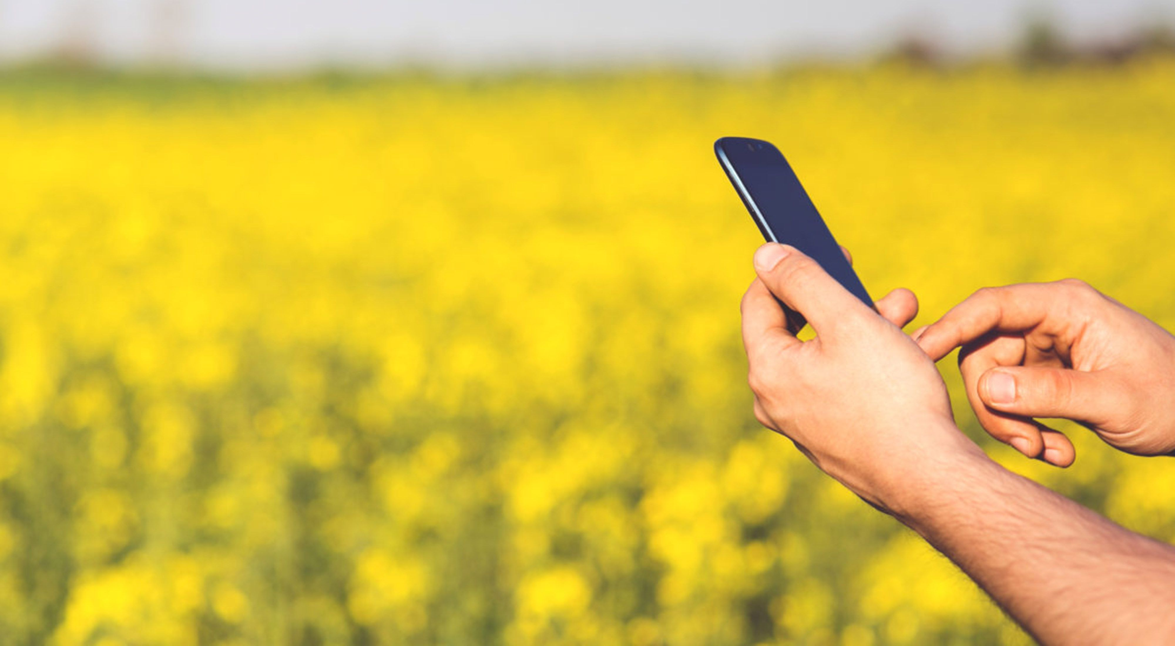 Close-up of hands holding a smartphone in a field of yellow flowers