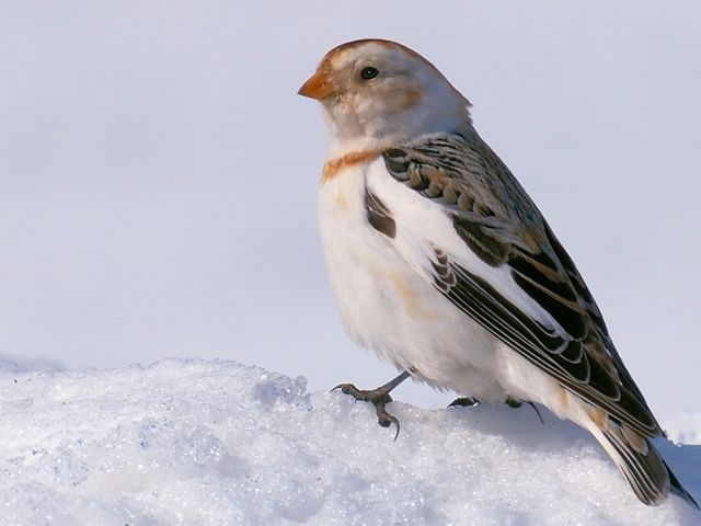 Snow bunting perches on snow.