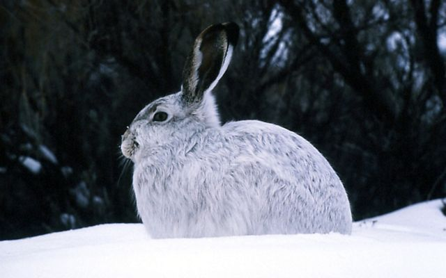A white rabbit with black ears, seen in profile sitting in white snow.