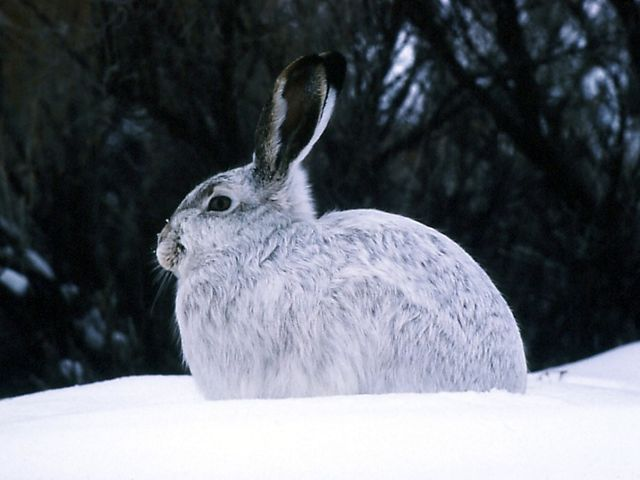 A snowshoe hare is camouflaged in a wooded, snowy setting in Colorado.