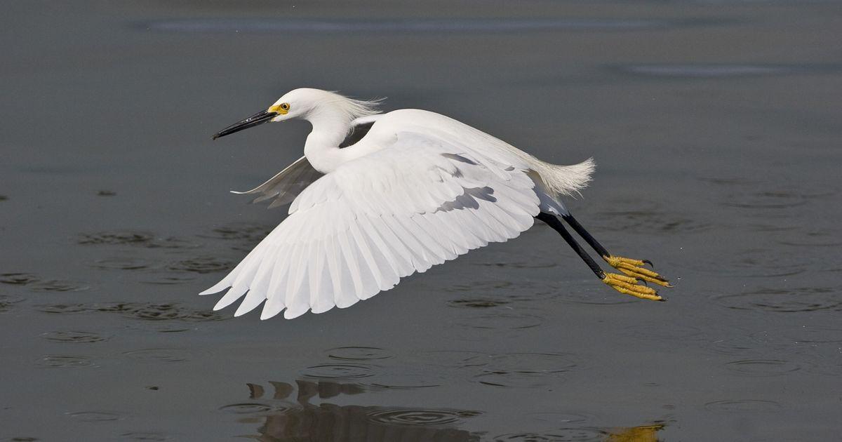 A Snowy Egret (Egretta thula) flying over Florida wetlands.