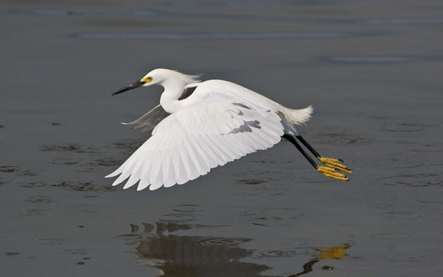 A Snowy Egret (Egretta thula) flying over Florida wetlands.