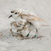 A banded snowy plover with her chicks seen on Sanibel Island, Florida.