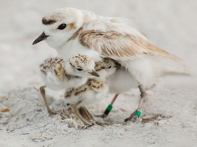 Snowy plover and two chicks on a beach