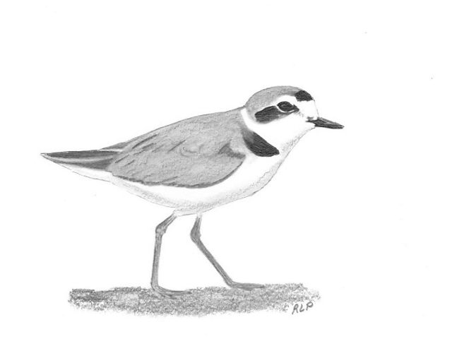 Charcoal drawing of a snowy plover
