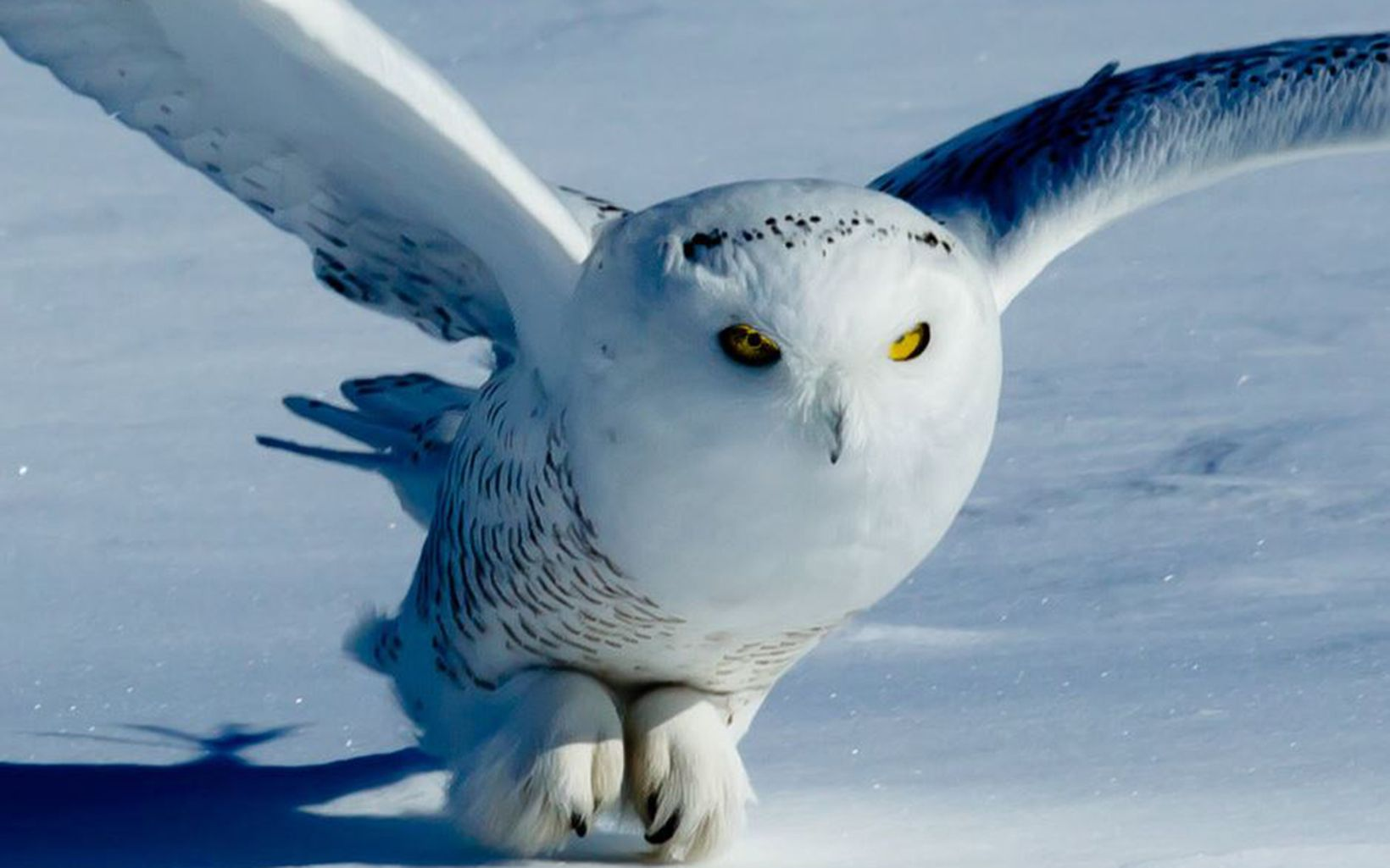 Snowy owl flying close to the snow