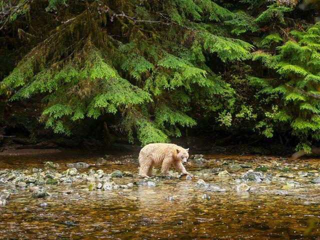 Un oso camina sobre piedras a la orilla de un río