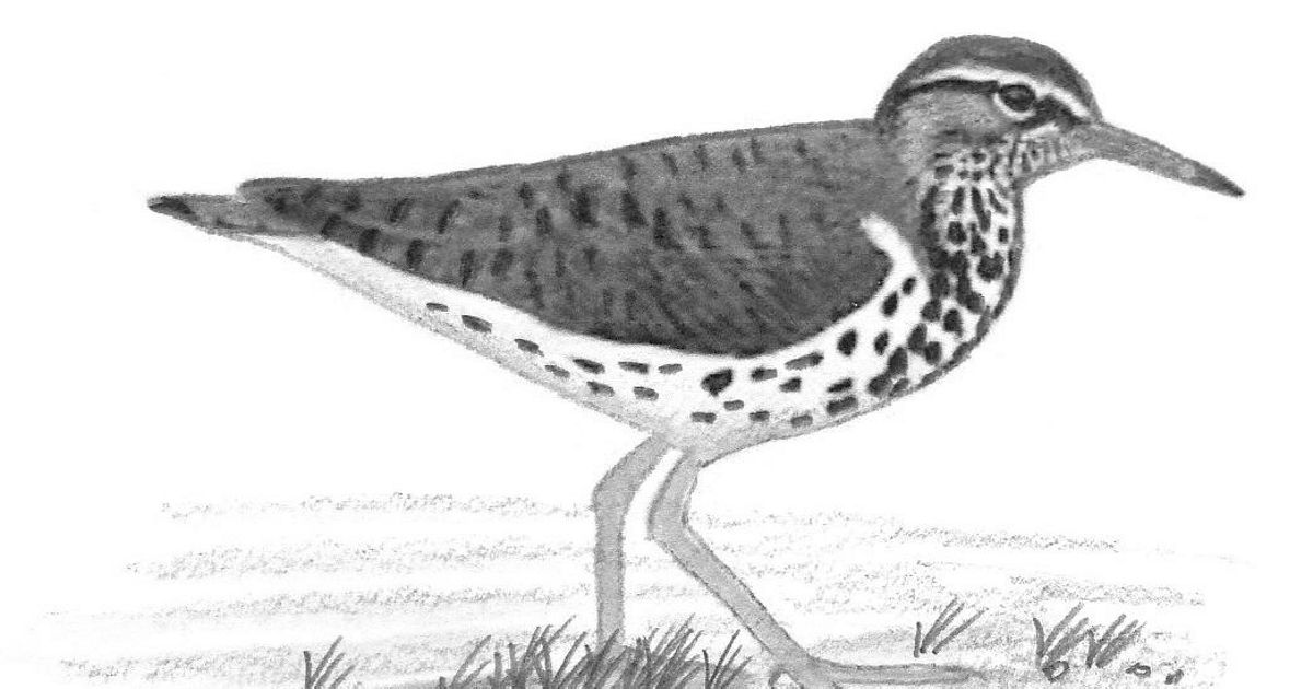 Charcoal drawing of a spotted sandpiper